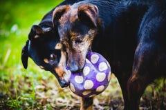 Perros que juegan y que luchan Imagen de archivo