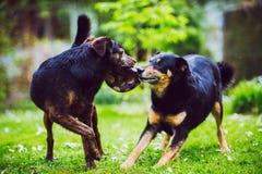 Perros que juegan y que luchan Foto de archivo