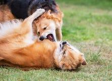 Perros que luchan Foto de archivo