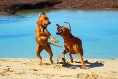 Perros que luchan en la playa Fotografía de archivo