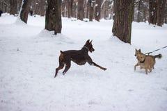 Perros que luchan, mueca de dos perros cara a cara imagenes de archivo