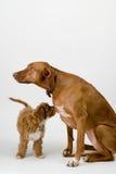 Perros que miran ambas maneras Fotos de archivo