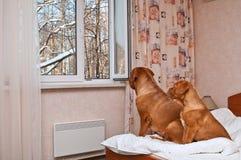 Perros que miran fuera de la ventana Fotografía de archivo libre de regalías