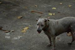 Perros que mueren de hambre en barbecho Imagen de archivo