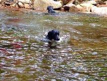 Perros que nadan Foto de archivo
