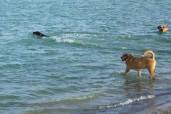 Perros que nadan y ` del chillin en una charca del parque del perro Fotos de archivo
