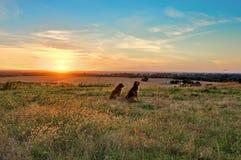 Perros que pasan por alto puesta del sol en granja Fotografía de archivo