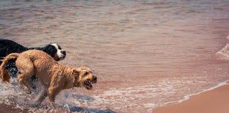 Perros que se divierten en la playa Imágenes de archivo libres de regalías