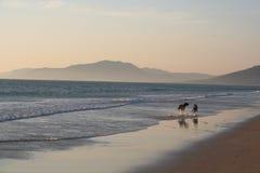 Perros que se ejecutan en la playa Imágenes de archivo libres de regalías