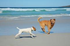Perros que se ejecutan en una playa Imagen de archivo libre de regalías