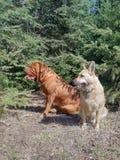 Perros que se sientan en bosque Foto de archivo libre de regalías