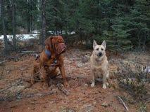 Perros que se sientan en bosque Imagen de archivo libre de regalías