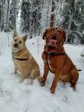 Perros que se sientan en nieve Imagenes de archivo