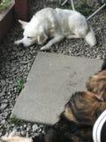 Perros que se sientan hacia fuera en el sol Fotografía de archivo