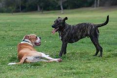 Perros que toman una rotura a partir de la hora del recreo Imagen de archivo libre de regalías