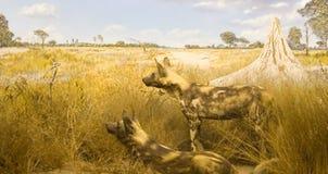 Perros salvajes africanos Fotografía de archivo