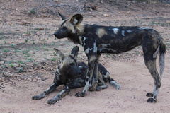 Perros salvajes africanos Fotos de archivo libres de regalías