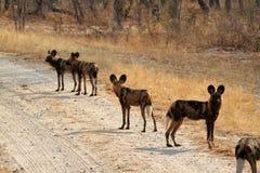 Perros salvajes africanos en la sabana de Zimbabwe imagenes de archivo