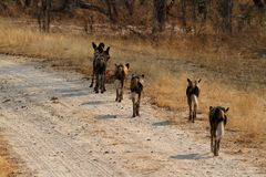 Perros salvajes africanos en la sabana de Zimbabwe fotografía de archivo