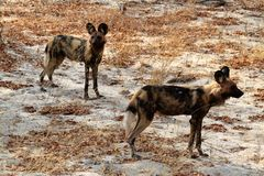 Perros salvajes africanos en la sabana de Zimbabwe imagen de archivo