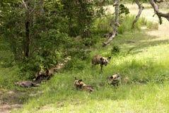 Perros salvajes africanos, parque nacional de Selous, Tanzania Imágenes de archivo libres de regalías