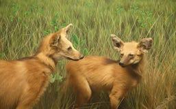 Perros salvajes en prado Fotografía de archivo