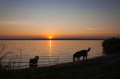 Perros sedientos Fotografía de archivo libre de regalías