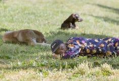 Perros sin hogar el dormir del hombre Foto de archivo libre de regalías