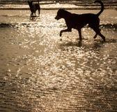 Perros sin hogar que cogen cangrejos en la playa Imágenes de archivo libres de regalías