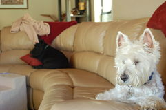 Perros soñolientos Fotografía de archivo libre de regalías