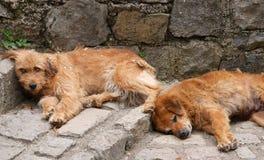 Perros soñolientos Imagen de archivo