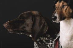 Perros soñolientos en casa Retrato lindo del perro dos Concepto de la amistad Terrier y perro alemán del indicador que descansan  Imágenes de archivo libres de regalías