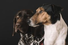 Perros soñolientos en casa Retrato lindo del perro dos Concepto de la amistad Terrier y perro alemán del indicador que descansan  Foto de archivo libre de regalías