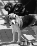 Perros tristes Fotografía de archivo libre de regalías