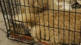 Perros tristes maltratados que se acurrucan en la jaula, para funcionamiento que espera en la demostración canina metrajes