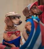 Perros vestidos divertidos hermosos que se sientan y que miran lejos Foto de archivo libre de regalías