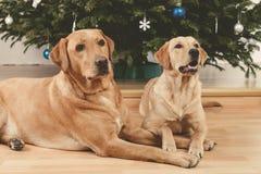 Perros y árbol de navidad foto de archivo