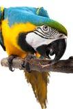 perrot de macaw images libres de droits
