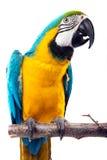perrot de macaw Photos libres de droits