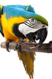 Perrot - Macaw Royalty Free Stock Images
