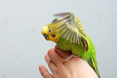 Perrot2. A green wavy parrot swinging wings Stock Images