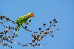 Perruche alexandrine ou eupatria alexandrin de Psittacula de perroquet, bel oiseau vert étant perché sur la branche images stock