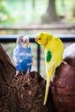 Perruche bleue et jaune de perruche d'oiseaux Photos stock