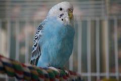 Perruche bleue sur la perche colorée Photographie stock libre de droits