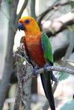 perruche de Jandaya de famille de perroquet Photo libre de droits
