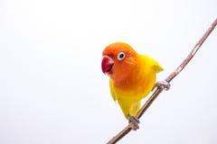 Perruche jaune sur la branche Image libre de droits
