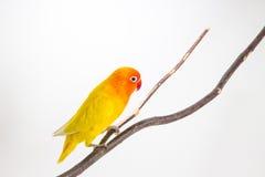 Perruche jaune sur la branche Images libres de droits