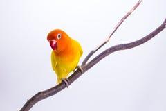 Perruche jaune sur la branche Photo stock