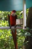 Perruche magnifique avec les ailes colorées Image libre de droits