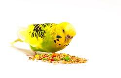 Perruche mangeant la graine mélangée Image stock
